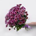Фото №1: Букет сиреневых хризантем