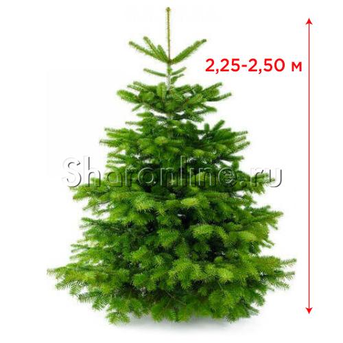 Фото №1: Датская живая ель (елка) 2,25 м-2,50 м