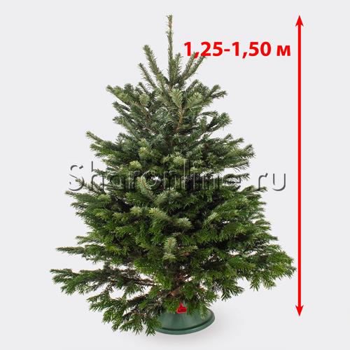 Фото №1: Датская живая ель (елка) 1,25 м-1,50 м